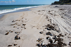The results of red tide in Vero Beach (Glotzsee) Tags: nature florida indianrivercounty verobeach redtide closed beach ocean atlanticocean globalwarming pollution marinelife vote glotzsee glotzseefloridaimages