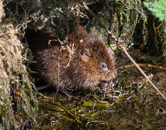 Water Vole (RobLesliePhotography) Tags: leica100400mm panasonicg9