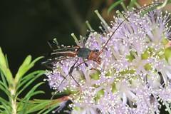 Like my antennae? (Jenny Thynne) Tags: longicornbeetle insect cerambycidae beetle brisbane queensland australia amphirhoedecora
