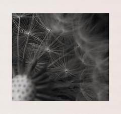 Waiting for the wind (hall1705) Tags: waitingforthewind blackandwhite mono dandelion seeds nature mobilephone samsung macro closeup