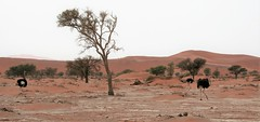 Sossusvlei dunes, Namibia and a trio of ostriches (ronmcbride66) Tags: namibia sossusvlei dunes desert namib namibdesert ostriches trees woodland scatteredtrees camelthorn sossusvleidunes sand tsauchabriver undergroundwater thenamib 4x4driving coth