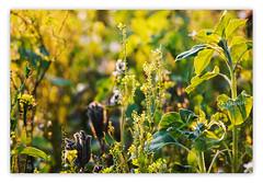 Erinnerung an den schönen Sommer (petra.foto busy busy busy) Tags: landwirtschaft sommer sommerblumen blüten sonnenuntergang licht sonnenlicht feld fotopetra canon 5dmarkiii blumenwiese