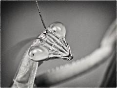 Backyard Mantis Portrait (Edward Bartel) Tags: m43ftw bug insect preyingmantis backyard fauna on1pics nikcollection on1photos monochrome toned buffalo ny usa