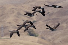 Tight formation (gsmper) Tags: birds inflight geese california park sony sigma art mc11 sunlight wildlife nature hills