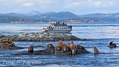 Sea Lions at Race Rocks (ofarrl) Tags: canada vancouverisland britishcolumbia juandefucastrait salishsea pacific northwest racerocks sealion marinemammal wildlife victoria