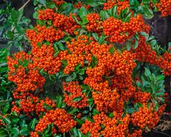 Bird food (frankmh) Tags: berry autumn hittarp skåne sweden