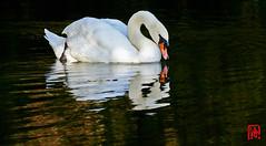 Ah ! Je ris de me voir si beau en ce miroir (mamnic47 - Over 9 millions views.Thks!) Tags: etangdelongchamp etang oiseaux cygnes 6c8a2541 reflet miroir