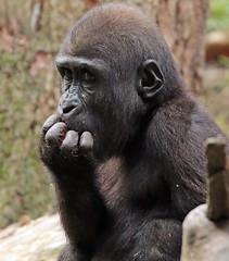 western lowlandgorilla Duisburg 094A0466 (j.a.kok) Tags: gorilla westelijkelaaglandgorilla westernlowlandgorilla lowlandgorilla laaglandgorilla animal africa afrika aap ape mammal monkey mensaap primate primaat zoogdier dier duisburg