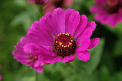 Lill (Jaan Keinaste) Tags: pentax k3 pentaxk3 eesti estonia lill flower