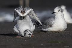 Bonaparte's Gull / Mouette de Bonaparte (shimmer5641) Tags: chroicocephalusphiladelphia bonapartesgull mouettedebonaparte gaviotadebonaparte laridaefamily gull birdsofbritishcolumbia birdsofnorthamerica