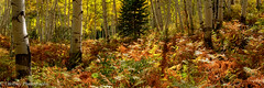 The Forest Floor (OJeffrey Photography) Tags: fern ferns aspentrees aspengrove aspen fallcolors fallcolor fall colorado co rockymountains coloradorockymountains pano panorama ojeffreyphotography ojeffrey jeffowens nikon d850