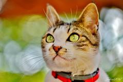 ~~ Ma Charlotte aux yeux verts ~~ (Joélisa) Tags: charlotte chat cat portrait yeux eyes regard vert green septembre2018