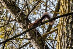 Squirrel (javier.r.amado) Tags: squirrel ardilla olympus omd em5mkii em5markii em5m2 olympusem5mkii omdem5mkii nature naturaleza micro43 microfourthirds 14150mm2 14150 14150markii