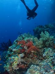 IMG_4332 (cdgobio) Tags: marrojo redsea 2018 sharkyolandareef