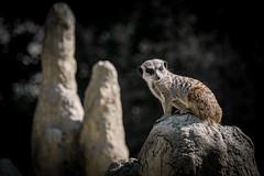 rc_wildlife_33 (R.C. Reshel) Tags: wildlife animals tiere aquarium bauernhof ozean säugetiere vögel insekten schmetterlinge fische erdmännchen manguste meerkat