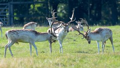 Break it up lads (Happy snappy nature) Tags: deer fallow rutting park nature stag rut grass animal wildlife countryside buck stags fight background fighting outdoor field forest wild autumn fall fur combat antlers antler season uk male game mammal