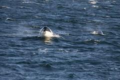 48.295301, -123.664335 (Vrijlegemstraat) Tags: strait juan de fuca east sooke orca killer whale canada british columbia victoria vancouver island porpoise breach