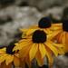 IYellow Coneflowers (Rudbeckia Hirta)