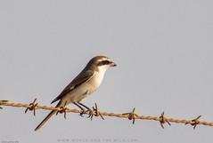 #Shrike #birdsofparadise #birdsofinstagram #birdphotography #Birds #birding #animalphotography #wildlifephotography #wildlife #nikon #tamron #nikond7200 #iger #igers #follow #ksa #saudiarabia #khober #khobar #bahrain #natgeoyourshot #natgeo (umer.272) Tags: saudiarabia natgeoyourshot khobar birds bahrain birding follow tamron nikon nikond7200 birdsofparadise natgeo birdphotography animalphotography wildlifephotography shrike ksa khober iger birdsofinstagram wildlife igers