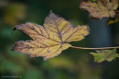 _AAI3135 (De Hollena) Tags: autumn autumnleaves blad blatt fall feuille herbst herfst herfstblad herfstkleuren leaf otoño