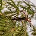 2014-07-04 TEC-3395 Calliandra houstoniana - E.P. Mallory