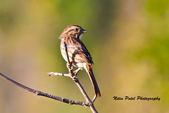 IMG_7154 (nitinpatel2) Tags: bird nature nitinpatel