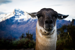 Llama! (*Hairbear) Tags: pose mountains portrait wildlife peru incatrail holiday llama