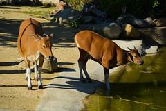 Javan Banteng (Seventh Heaven Photography) Tags: banteng animal mammal tembadau cattle bovine bovidae bovinae javan java cheshire chester zoo nikond3200 water rocks female endangered brown