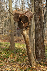 Heal Thyself (Doris Burfind) Tags: tree stump wolflane