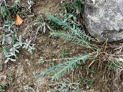 Wolfsmilch (naturgucker.de) Tags: ngidn1224781093 euphorbiaexigua kleinewolfsmilch