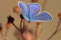Azuré de fin d'été (BPBP42) Tags: papillon butterfly animal insecte nature