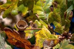 Herbstliches Eichenlaub (Of Light & Lenses) Tags: herbstlaub eiche vergrösserung crop oaktree xcd45 deutschland nature naturfoto hasselblad