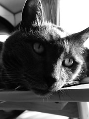 Yuba's Portrait 2 (sjrankin) Tags: 13october2018 edited animal cat yuba closeup sun sunlight sunbeam table window livingroom shadow kitahiroshima hokkaido japan grayscale