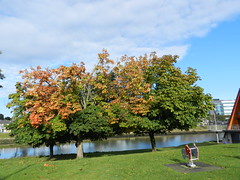 Shades of Autumn, Aberdeen, Sep 2018 (allanmaciver) Tags: colours autumn river dee aberdeen scotland north east torry tree weather blue sky clouds morning allanmaciver