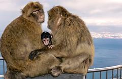 Baby Macaques (Tony_Brasier) Tags: nikond7200 monkeys sea spain lovely location bluesky loving love 18140mm golden sky