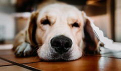 Adorable animal breed - Credit to https://homegets.com/ (davidstewartgets) Tags: adorable animal breed canine closeup cute dog domestic fur golden retriever indoors labrador laying little looking mammal nose pedigree pet portrait puppy purebred sit sleepy whelp