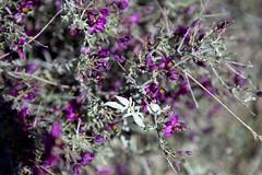 2015 - Texas (Mark Bayes Photography) Tags: bigbendnationalpark texas usa unitedstates chihuahuandesert brewstercounty nationalparkservice americannationalpark westtexas borderingmexico park purple