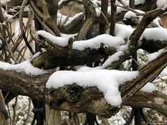 branches-avec-neige© (alexandrarougeron) Tags: photo alexandra rougeron neige urbain paysage nature paris
