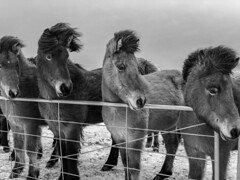 Hi Horsi! (Simulacra21) Tags: horses black white iceland hair nature hiking