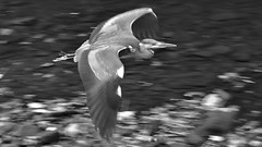 Grey Heron (42jph) Tags: uk england peak district hayfield derbyshire nikon d7200 nature water bird grey heron fly flight mono monochrome black white bw