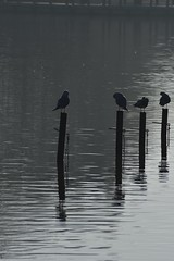 Morning silhouettes. (gjphilst) Tags: morning lake silhouettes seagulls d5600 northamptonshire nikon