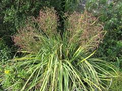 Eryngium (wallygrom) Tags: england westsussex haywardsheath handcross nymans nymansgarden nt nationaltrust