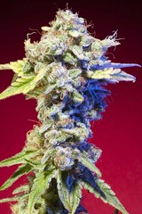 Mango_Tango_570d244538136 (Watcher1999) Tags: mango kush skunk cannabis seeds tango og snoop dogg medical marijuana growing strain plant weeds weed smoking ganja legalize it
