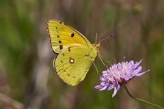 Lift Off! (David_W_1971) Tags: butterfliespieridae mallorca2018