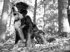 Black and White Photo of a Black and White Dog (Captain192) Tags: dog dogs collie spaniel spanielcolliecross bordercollie sprollie outwoods theoutwoods trees leaves autumn sunlight