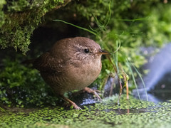Winterkoning-7966 (lucvereecken) Tags: glenn kalmthout bosvogels oktober