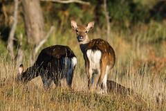 Sika Deer Cervus nippon Females (Barbara Evans 7) Tags: sika deer cervus nippon females godlingston heath dorset uk barbara evans7