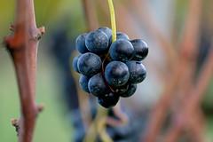 Grappolino (♥iana♥) Tags: vino uva grape vendemmia autunno autumn fall rosso red vite vigna grapevine montemarano avellino campania italia