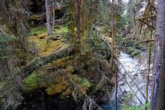 "JOHNSTON CANYON, BANFF NATIONAL PARK, ALBERTA, CANADA. Detail of  creek's watter opening a way within the dense forest. (xaciso) Tags: river ""bowriver"" ""johnstoncanyon"" ""banffnationalpark"" ""albertarockies"" alberta canada ""unescoworldheritage"" ""canadianrockymountainparks"" nakoda indians ""nakodaindians"" ""transcontinentalrailway"" ""johnstoncreek"" ""castlemountain"" gorge ""johnstonecanyon"" stream ""lakelouise"" mountain lake creek forest bridges trees water snow ice glaciar nature ""purenature"" ""wildnature"" ""mountainchain"" xaciso ""sonyilce6000"" rio cascada agua roca"
