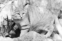 Les chats des sables du parc ont grandi (uluqui) Tags: canon 6d 6dmkii fullframe polarizingfilter lyon parcdelatêtedor têtedor automne autumn calme quiet nature noiretblanc bw parc park kitten cat cute chat chatdessables animal sandcat sandkitten felismargarita grow